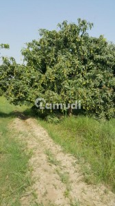 Agriculture Land Big Fruit Orchard Is Available For Sale On Fateh Canal Bank